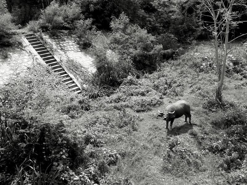 Buffalo in Mae Rim