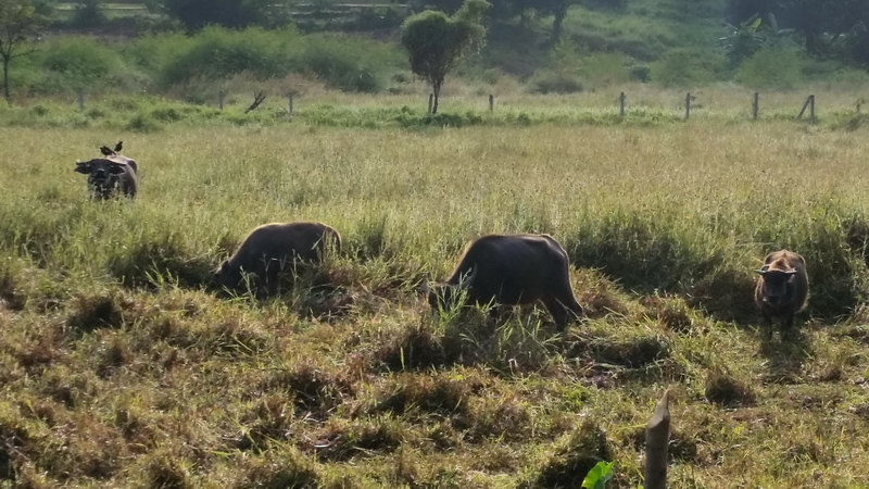 Buffalos in the Field